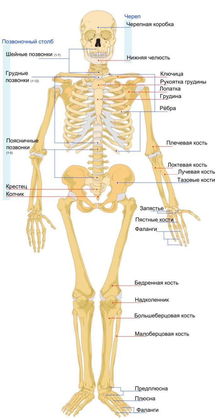 Скелет человека вид спереди
