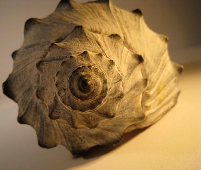 'Спираль ракушки', фотограф Muffett68 Heidi; ещё один пример спирали Фибоначчи в природе.