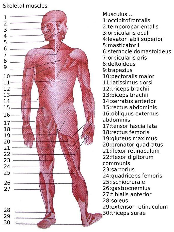 Изображение главных мышц человеческого тела с названиями на латыни. В русском языке названия имеют свои аналоги. Например, musculus sartorius (23) — портня́жная мы́шца.