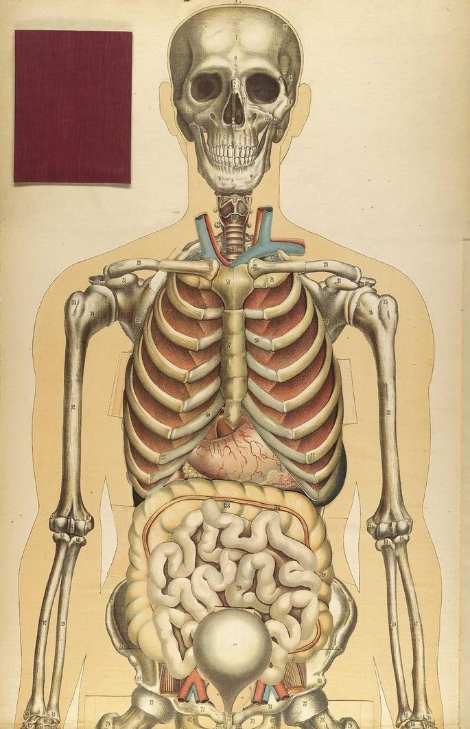 Скелет — это не только опорно-двигательный аппарат, он ещё защищает наши внутренние органы.