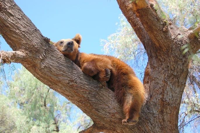 Маленький бурый медведь лежит на ветке дерева