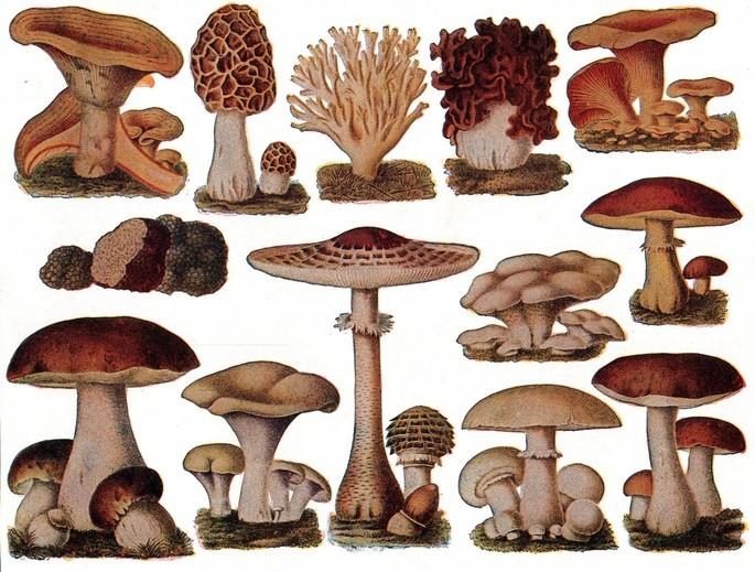 Рисунок грибов из книги 'Новое студенческое справочное издание' ('The new student's reference work') 1914 года