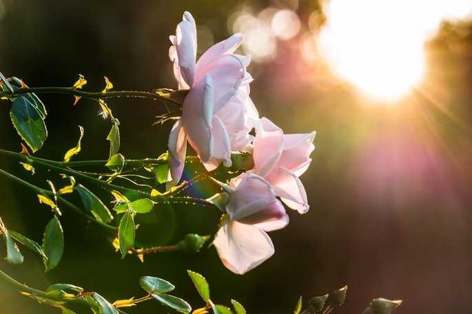 Розовые розы с зелёными лепестками, сфотографированные против солнца
