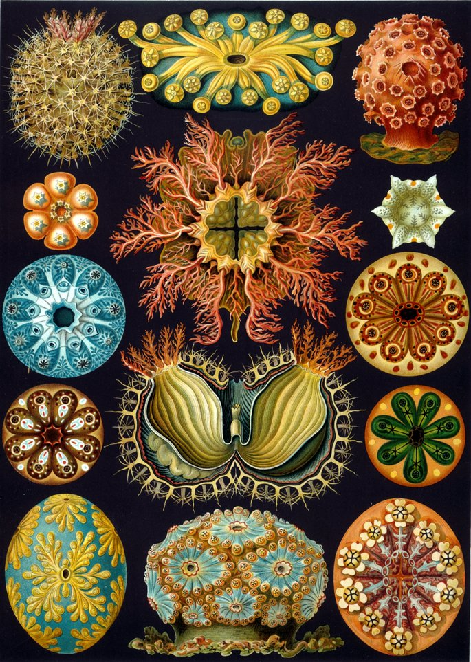 Асцидии, иллюстрация из книги Эрнста Геккеля 'Красота форм в природе', 1904 г.