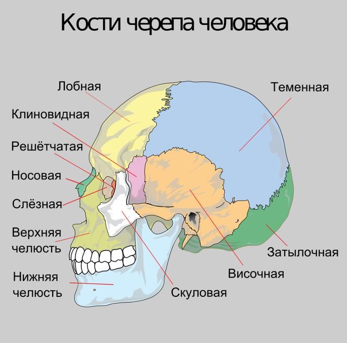Кости черепа человека