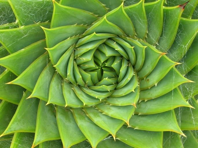 Фотография 'Алоэ многолистное' (Aloe polyphylla), на нём можно увидеть спираль Фибоначчи в природе.