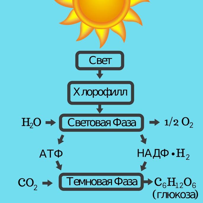 Световая и темновая фазы фотосинтеза схема