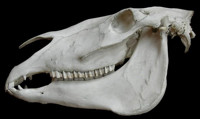 Скелет травоядного животного