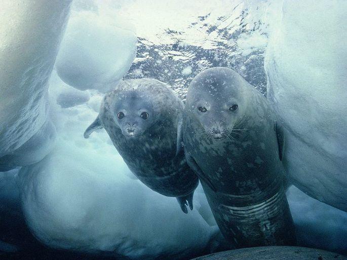 Тюлени Уэддела