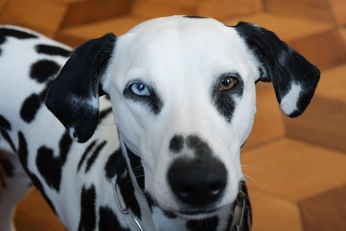 Гетерохромия у собаки